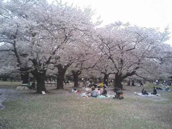光が丘公園のお花見.jpg