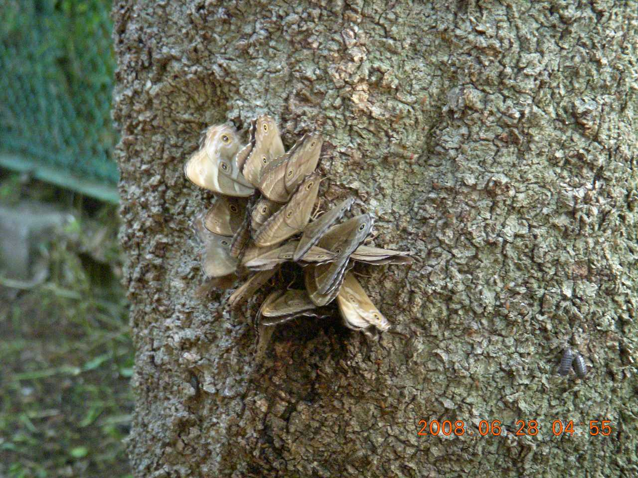 大量の蝶4