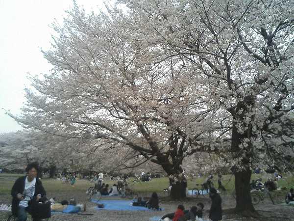 光が丘の桜0407a