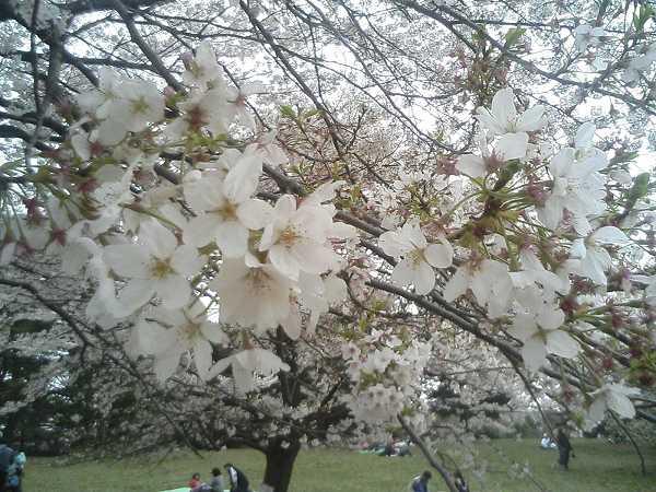 光が丘の桜0407b